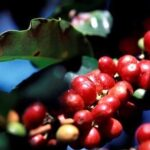 red_coffee_cherries4