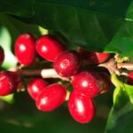 red_coffee_cherries5